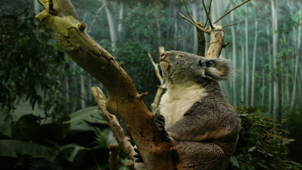 koalas wallpaper