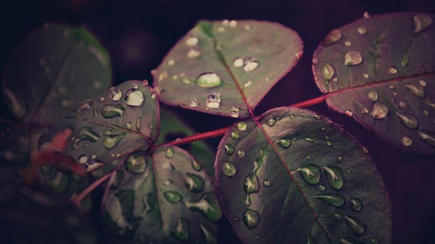 nature leaves water drops macro wallpaper