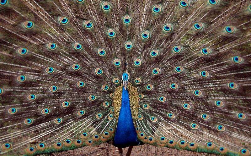 peacocks wallpaper