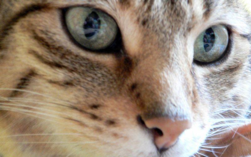 close-up cats animals wallpaper