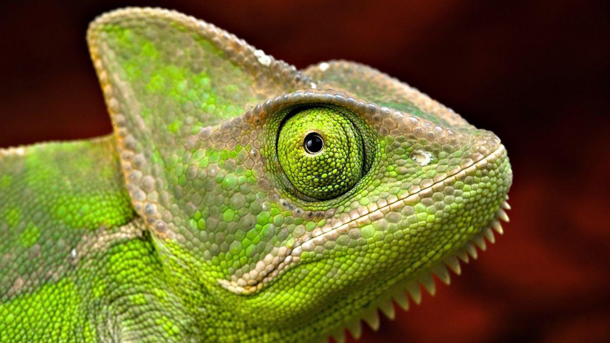 chameleons reptiles wallpaper