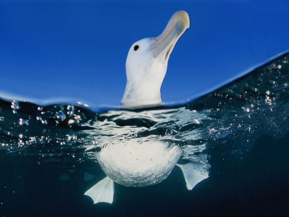 water birds swimming albatross split-view wallpaper