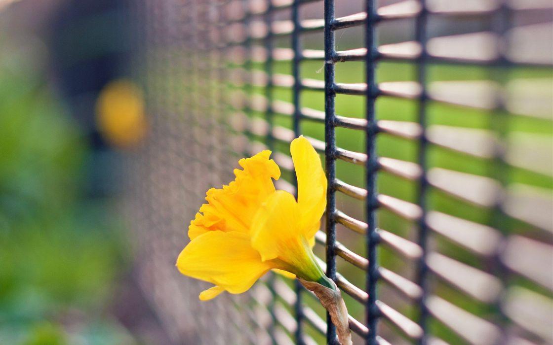 flowers fences bokeh depth of field daffodils yellow flowers wallpaper
