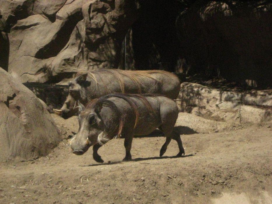 nature animals Warthog wallpaper