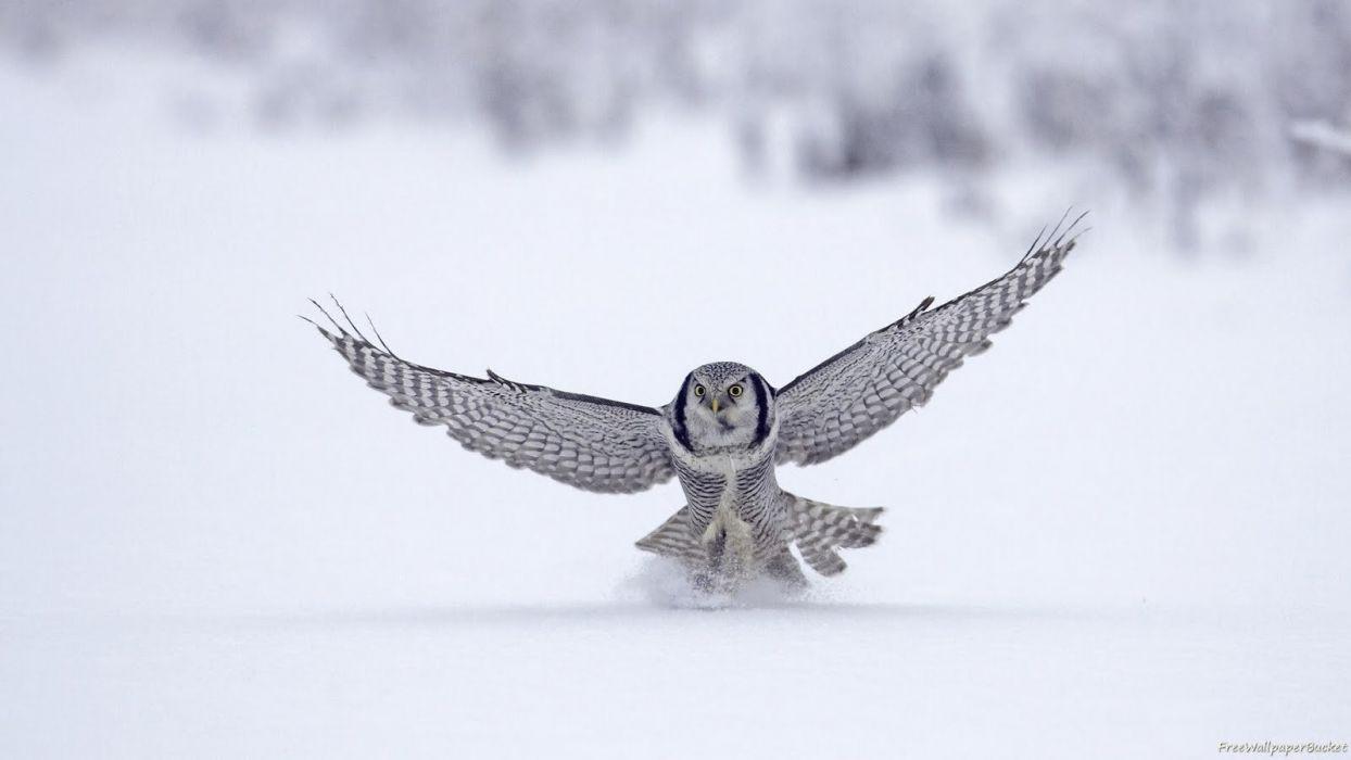 snow birds owls hunting wallpaper