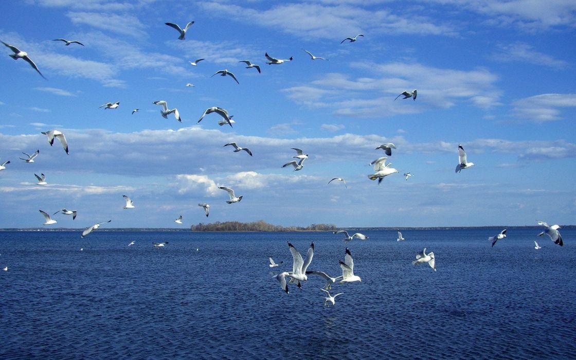 birds seagulls skyscapes sea wallpaper