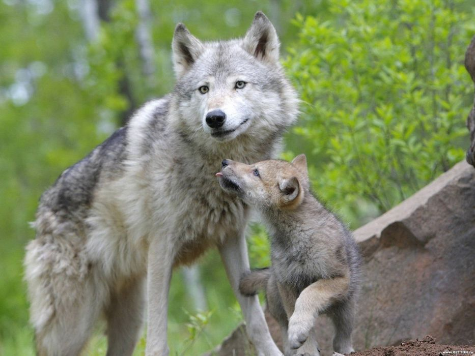 animals baby animals wolves wallpaper