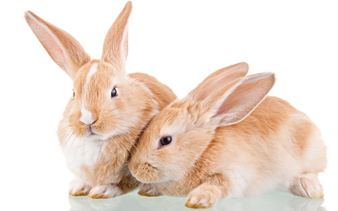 bunnies animals white background wallpaper