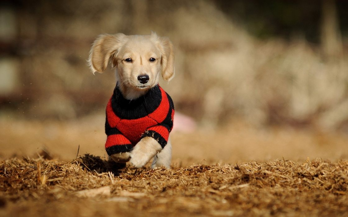 animals dogs sweaters wallpaper