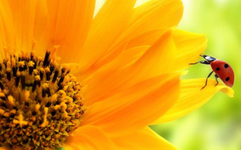 sunflowers ladybirds wallpaper