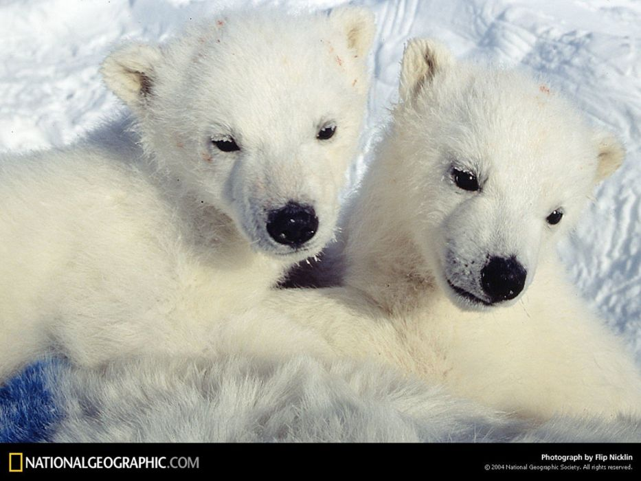 National Geographic cubs polar bears wallpaper