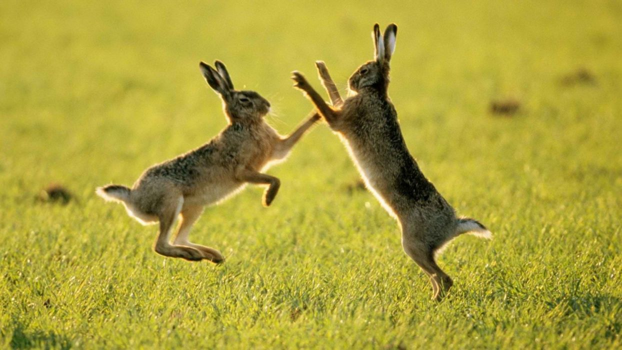 fighting fields rabbits wallpaper