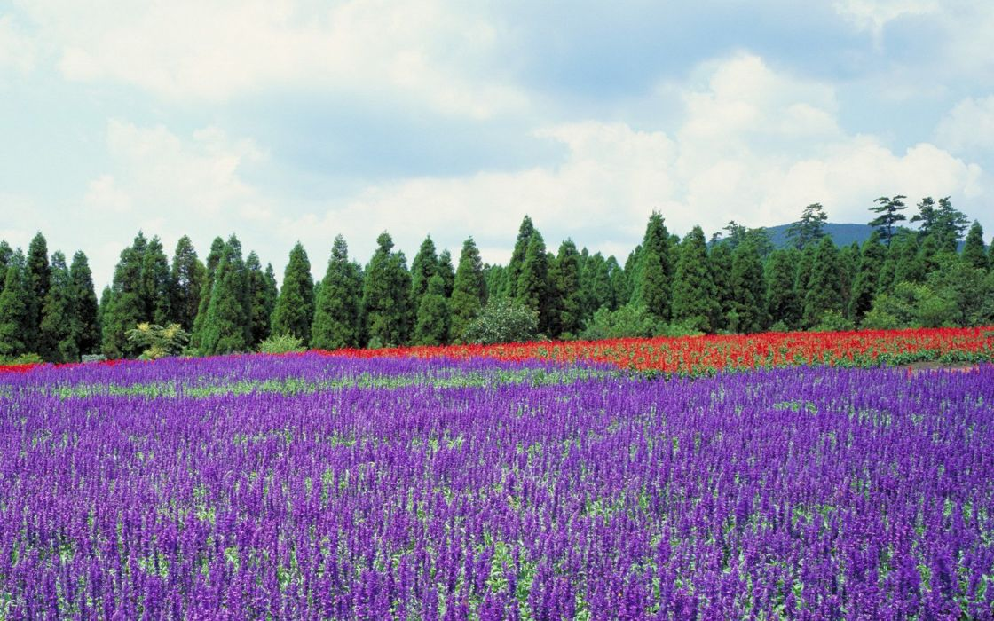 Japan trees flowers lavender purple flowers wallpaper