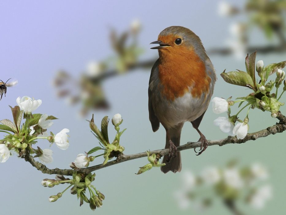 birds branches white flowers robins wallpaper