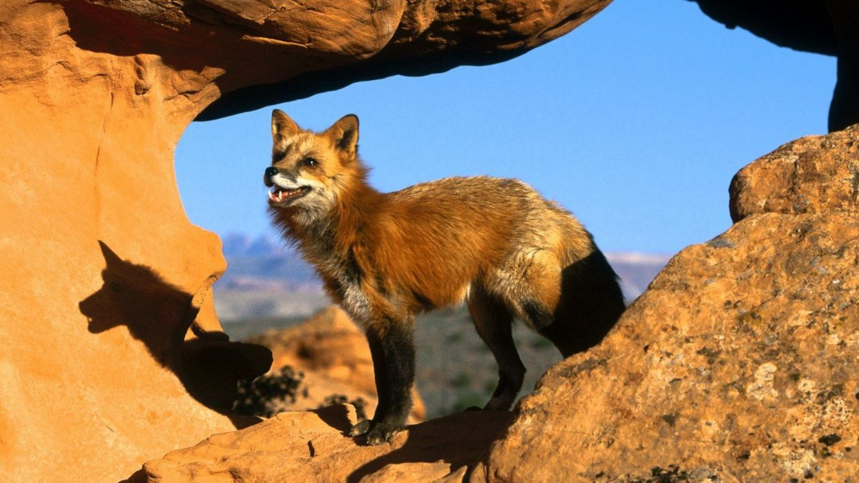 red foxes wallpaper