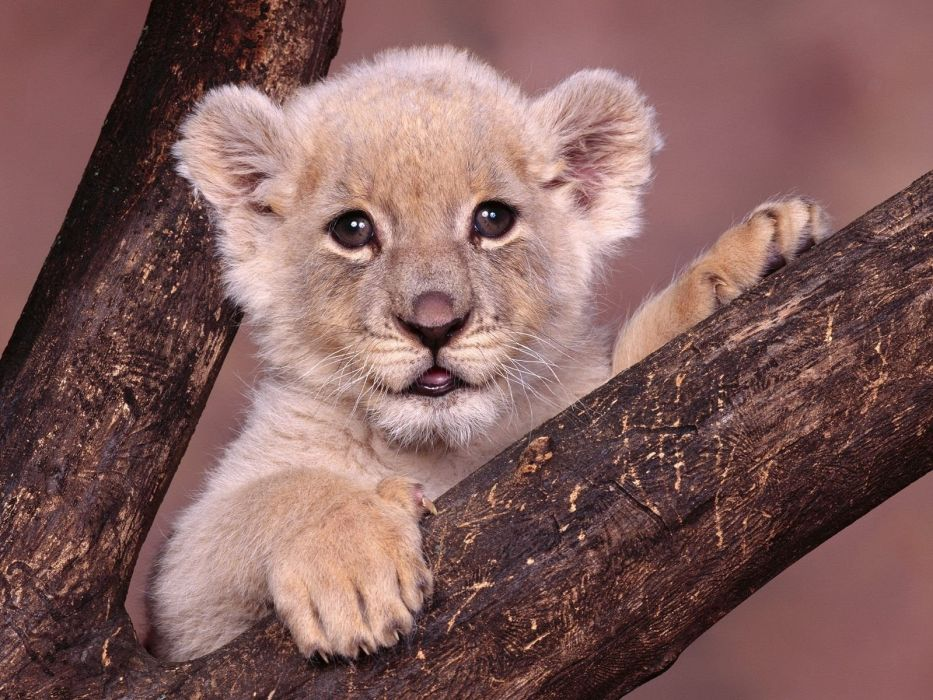 animals cubs lions white lions baby animals wallpaper