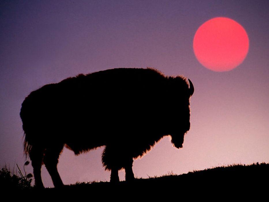 Sun animals silhouettes Yellowstone bison wallpaper