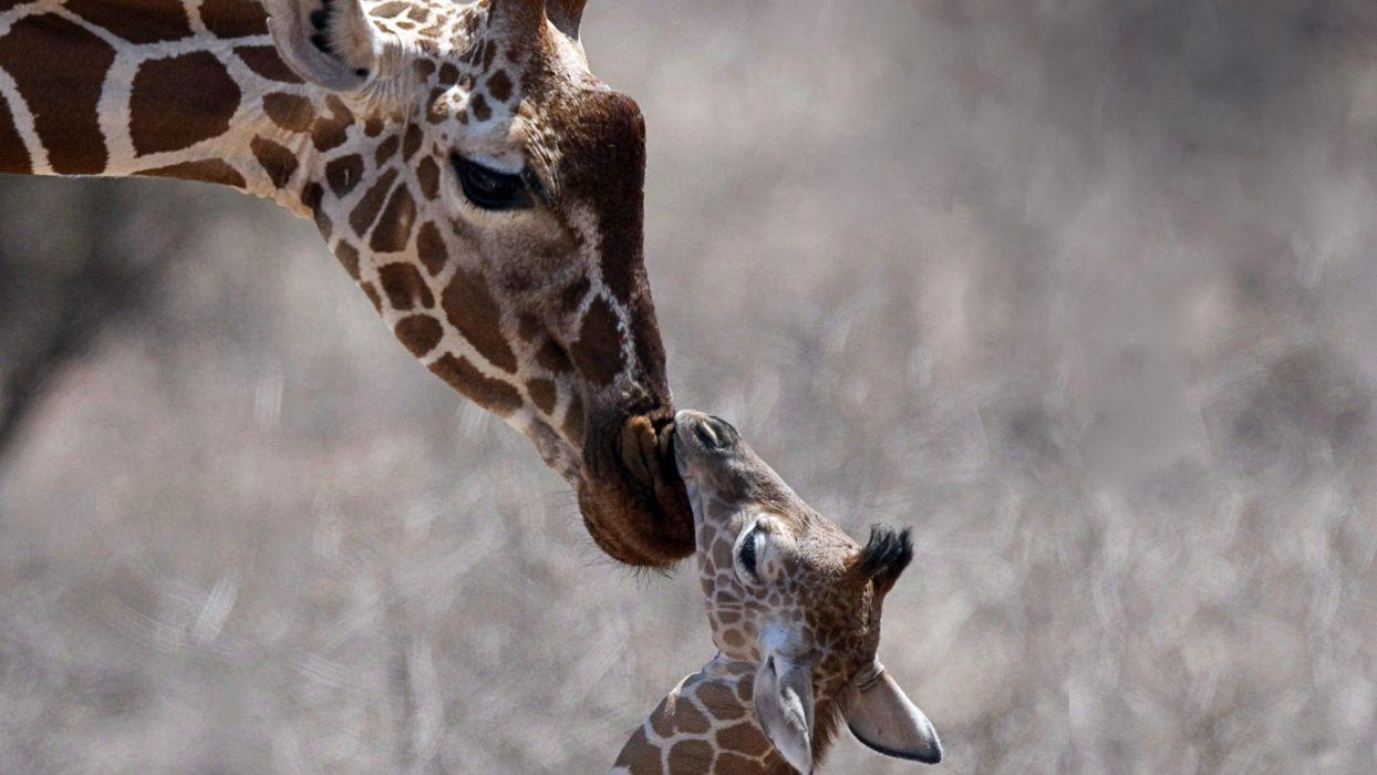 nature animals giraffes baby animals wallpaper