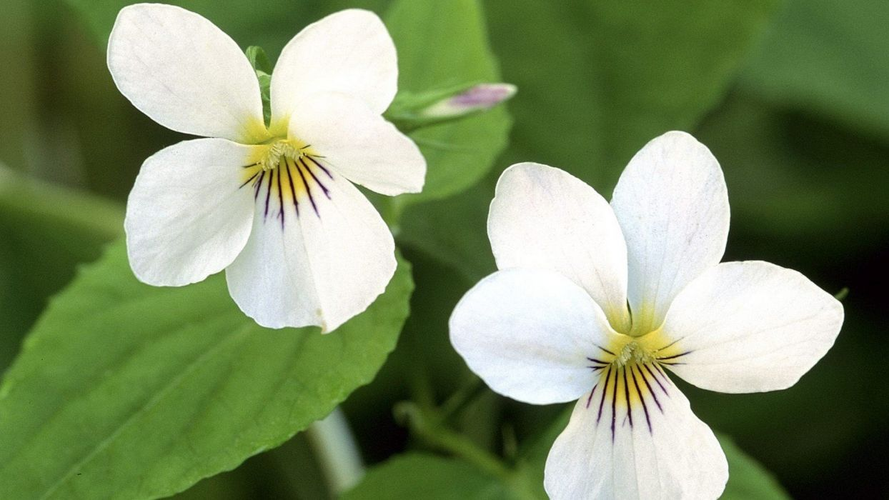 flowers Canada violets wallpaper