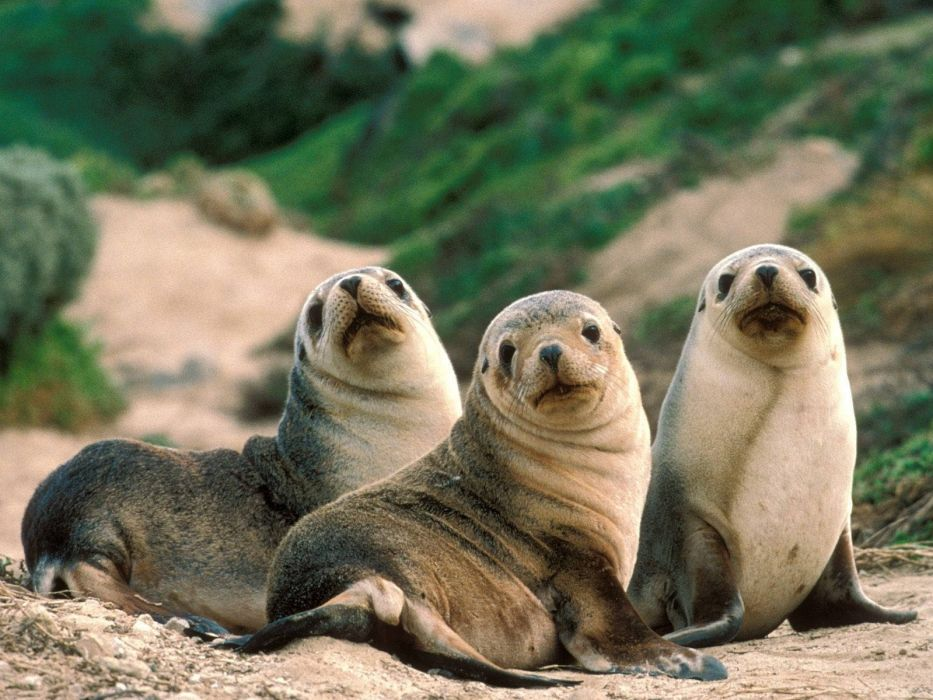 nature seals animals Sandy Australia beaches wallpaper