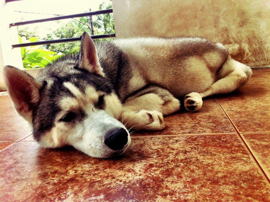 floor animals dogs husky sleeping Siberian husky wallpaper