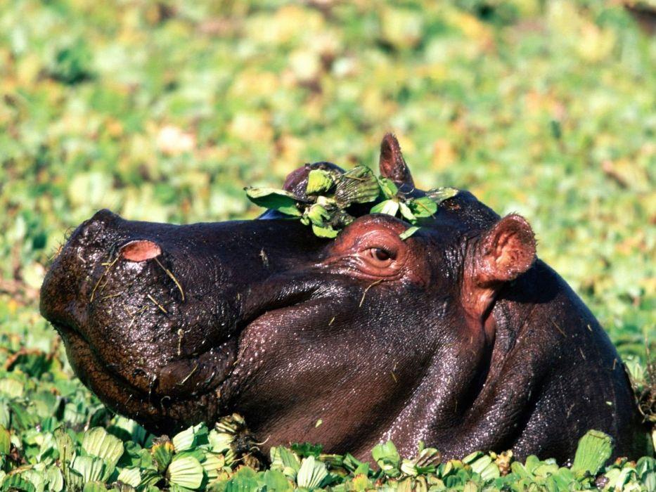 animals hippopotamus wallpaper