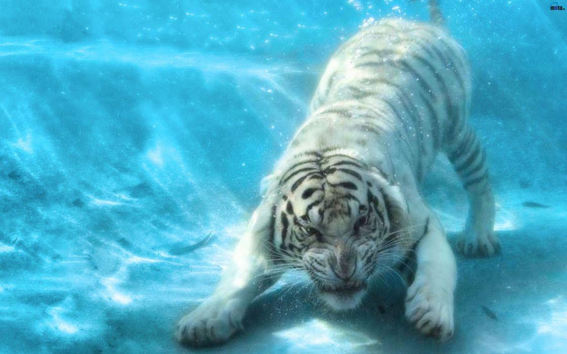 animals tigers underwater wallpaper