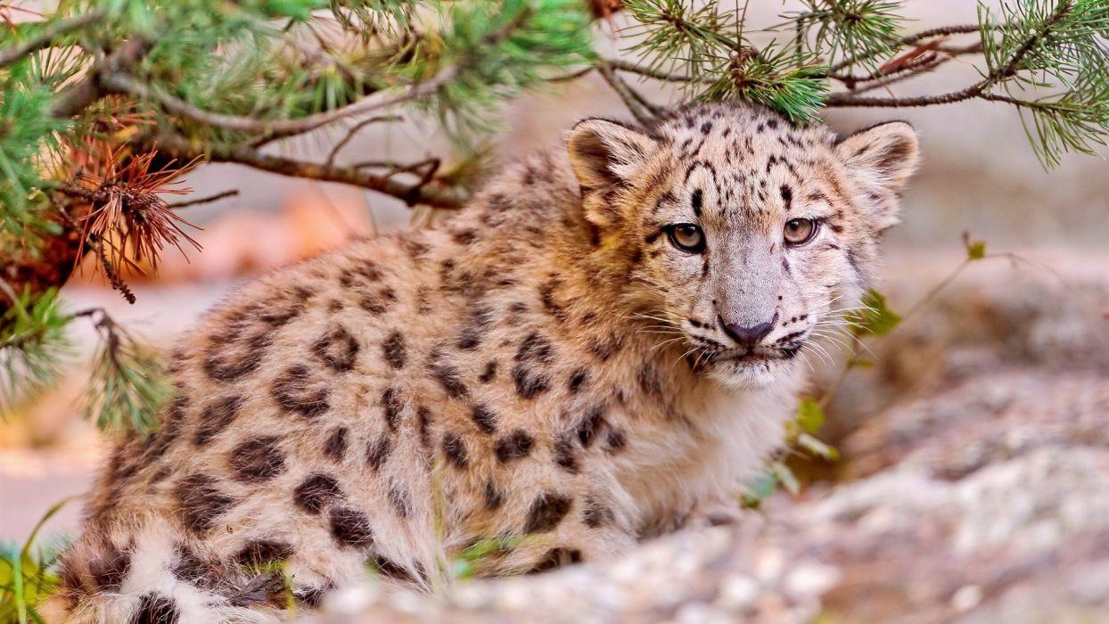 predator animals leopards wild animals wallpaper