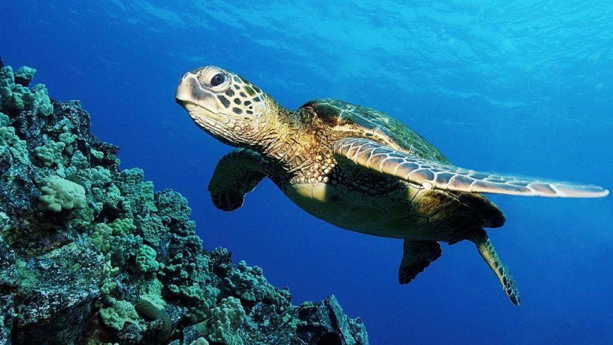 turtles sea turtles underwater wallpaper