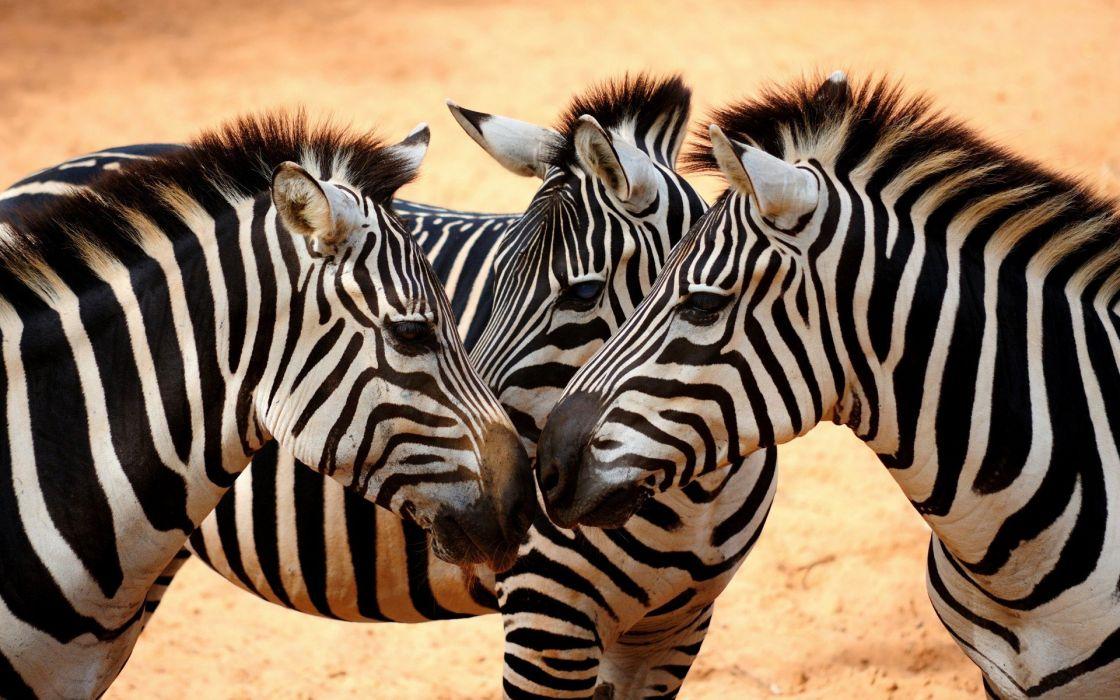 animals zebras wallpaper