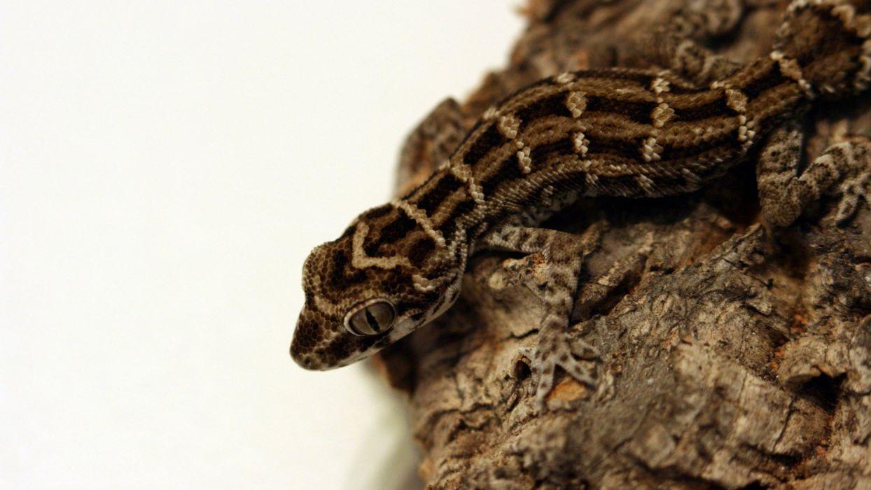 geckos Fat Tail Gecko wallpaper