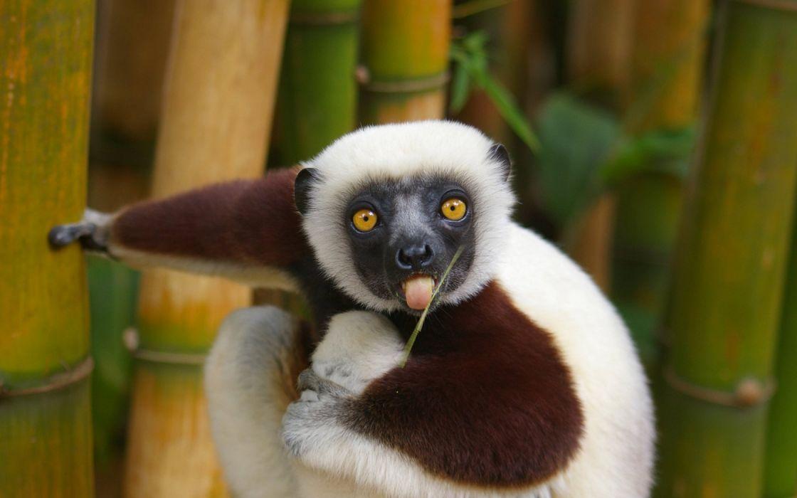 animals lemur ring-tailed lemurs wallpaper