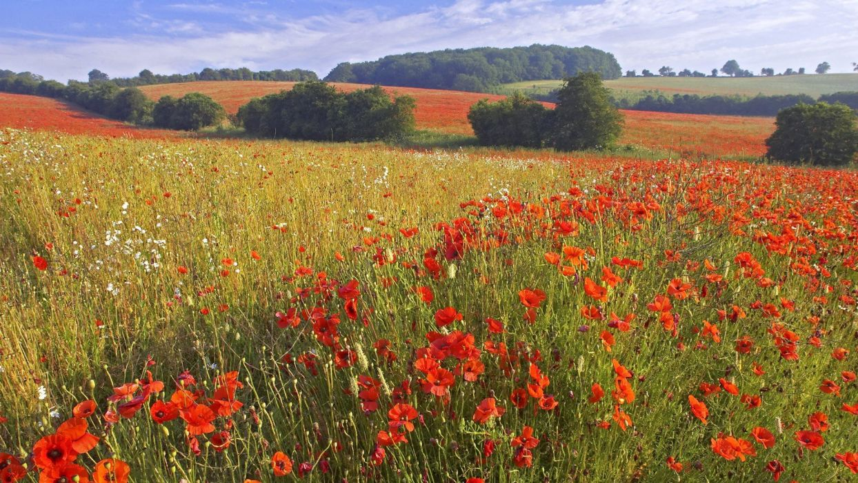 flowers England fields red flowers poppies wallpaper