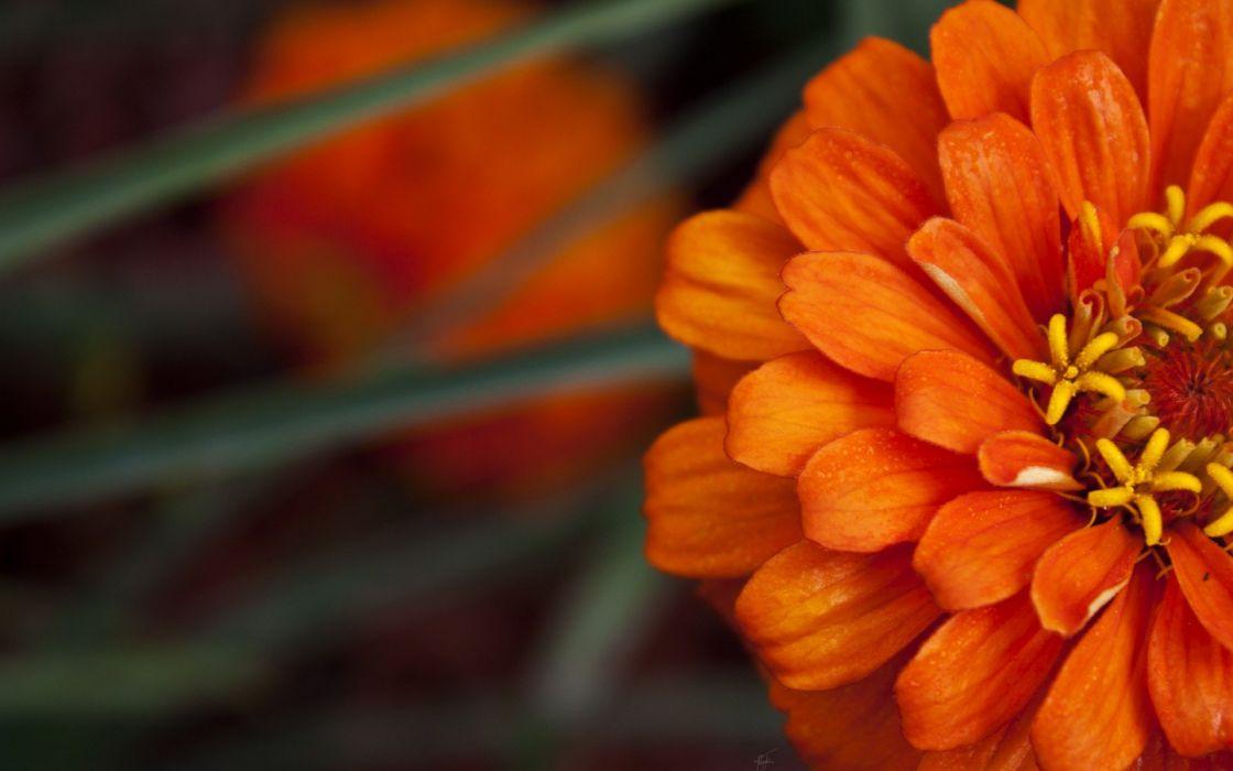 flowers dahlias orange flowers wallpaper