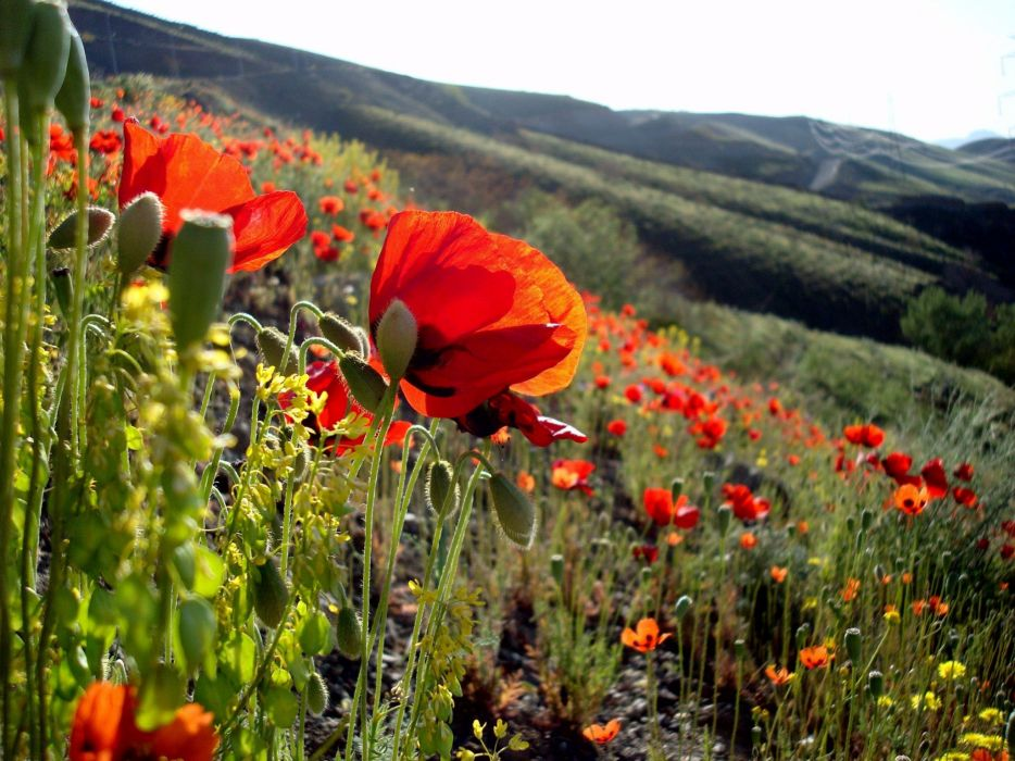 landscapes flowers hills poppies wallpaper