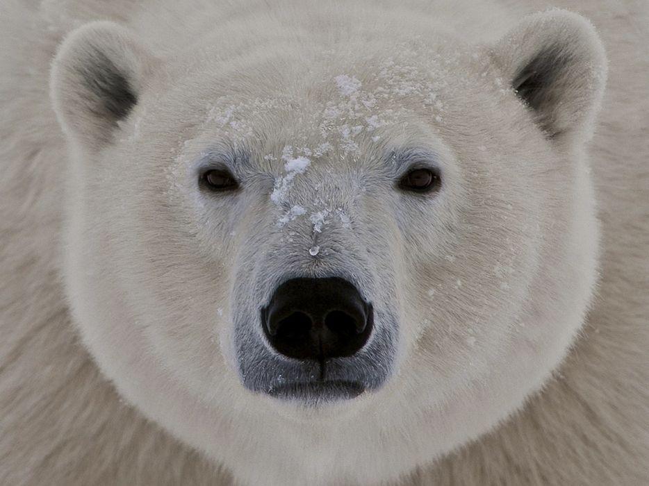 animals wildlife polar bears wallpaper
