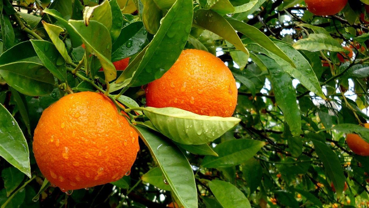 fruits leaves oranges water drops fruit trees wallpaper