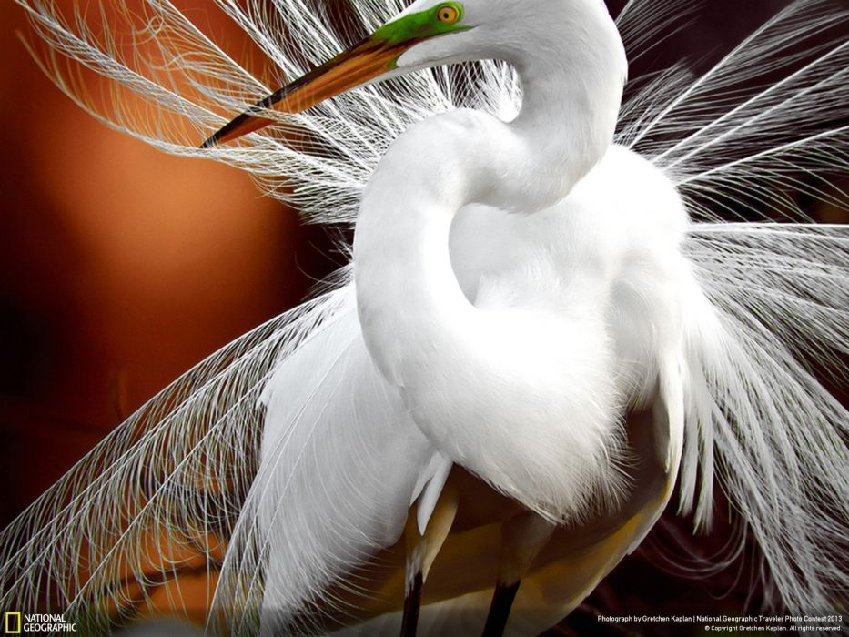nature birds animals feathers National Geographic egrets wallpaper