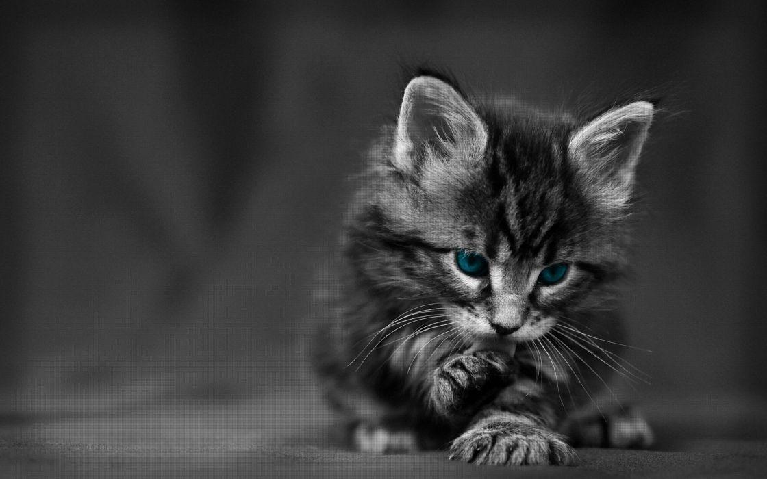 blue cats monochrome selective coloring wallpaper