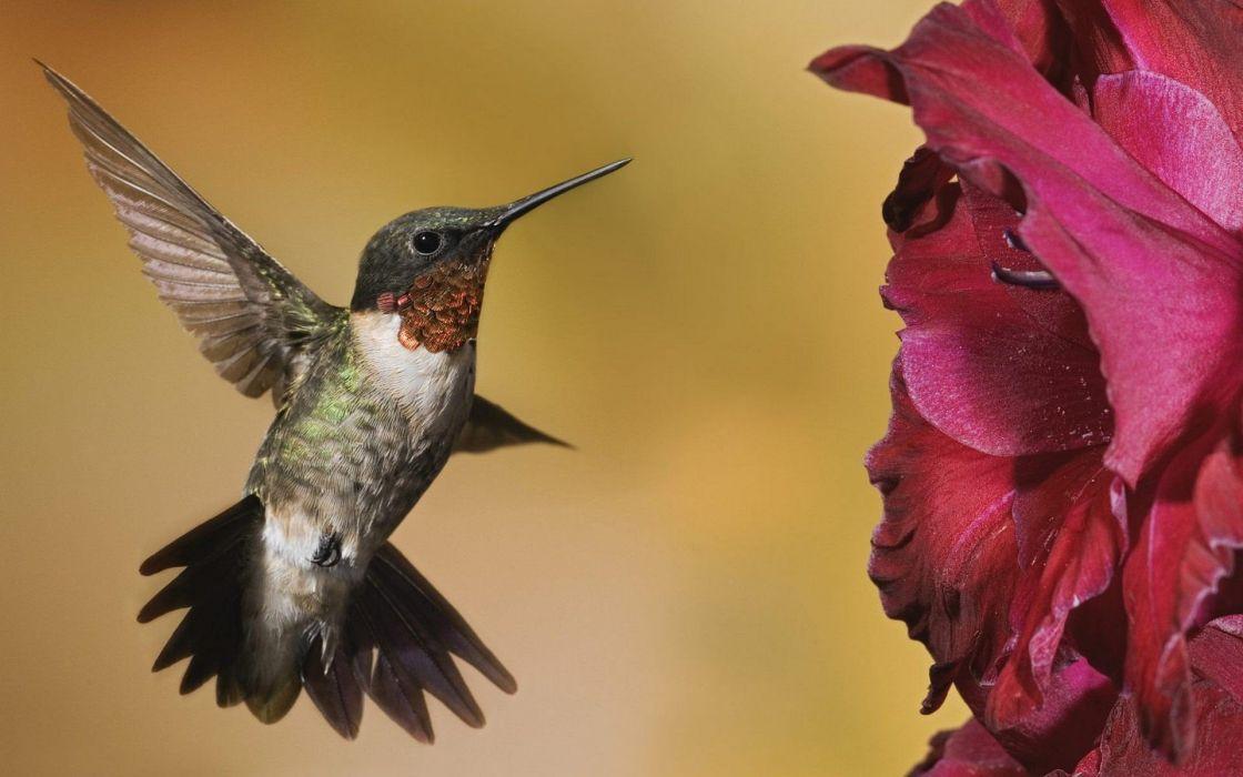 flowers birds animals hummingbirds wallpaper