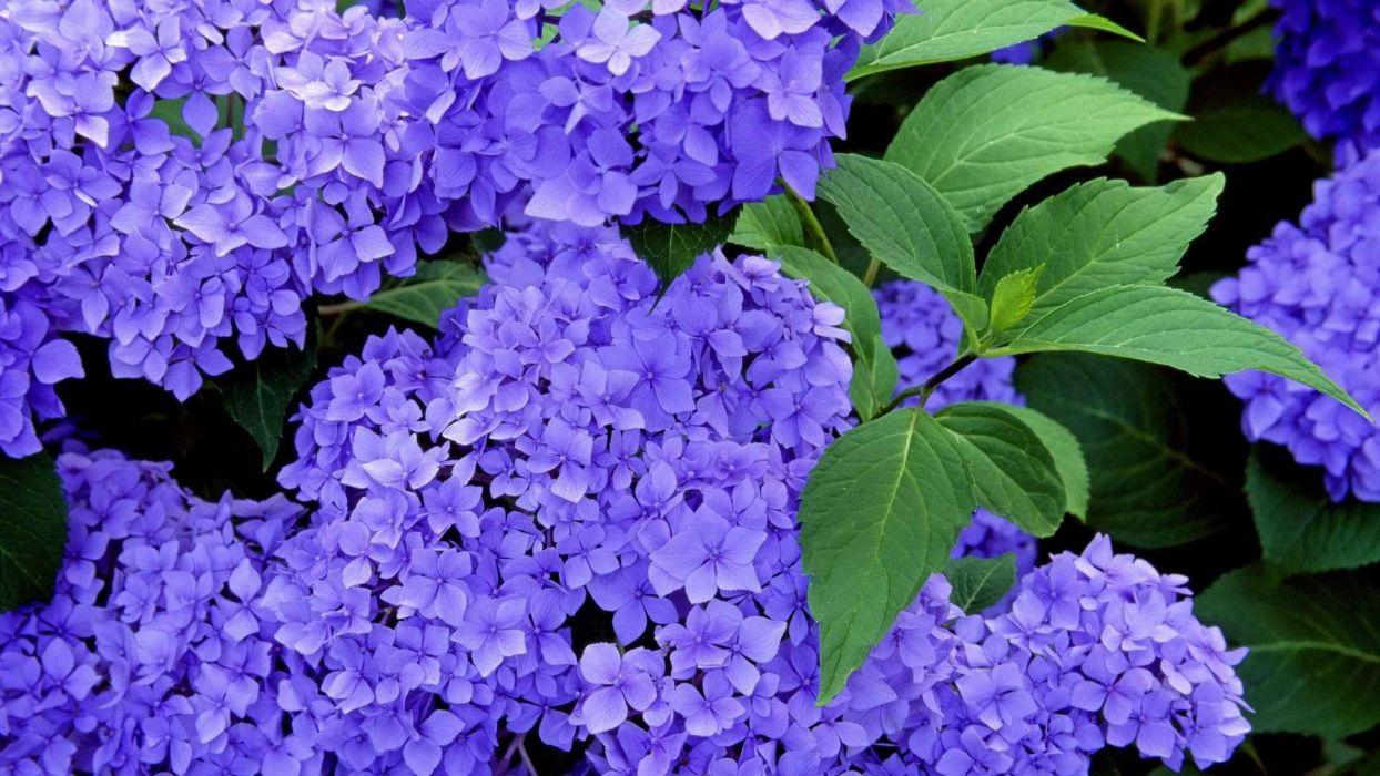 blue flowers Hydrangeas wallpaper