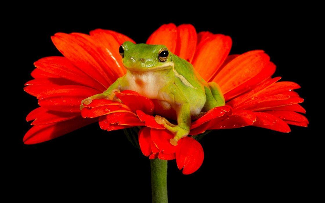 frogs black background red flowers amphibians wallpaper