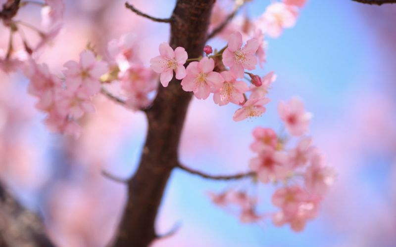 cherry blossoms spring blossoms plants wallpaper