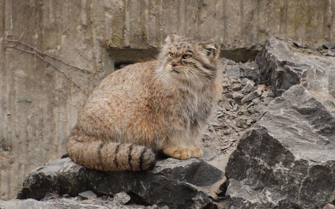 animals rocks feline manul wallpaper