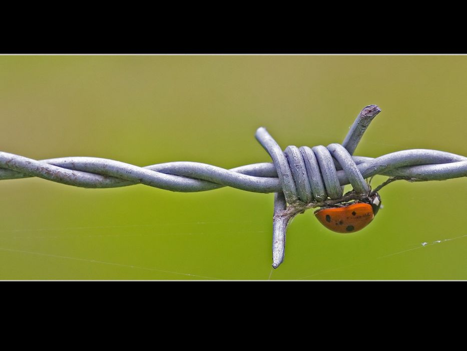 nature animals insects barbed wire ladybirds wallpaper