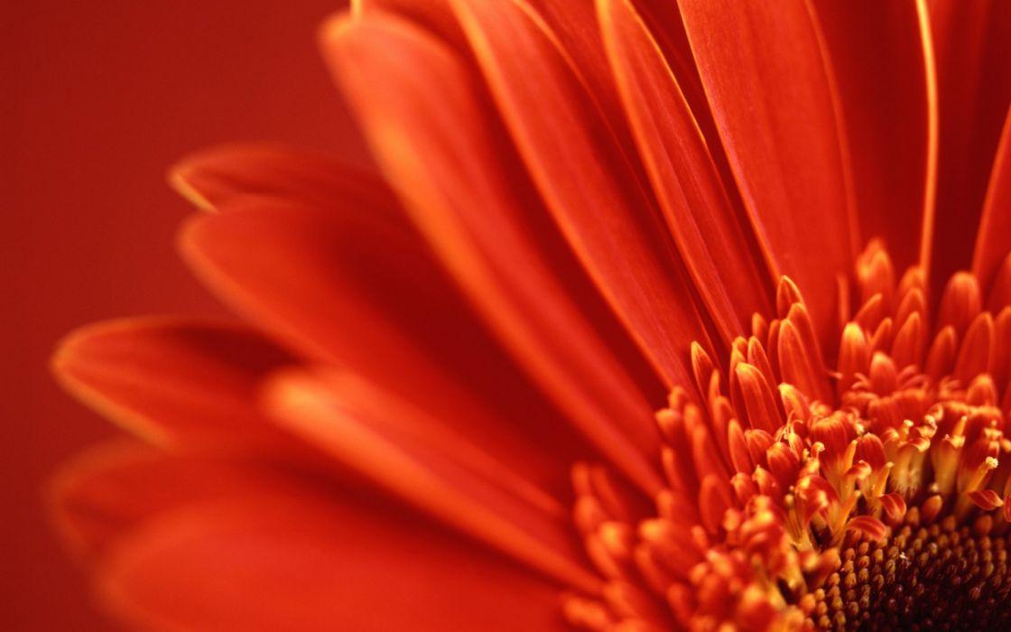 red flowers flower petals gerbera flower gerber daisy wallpaper