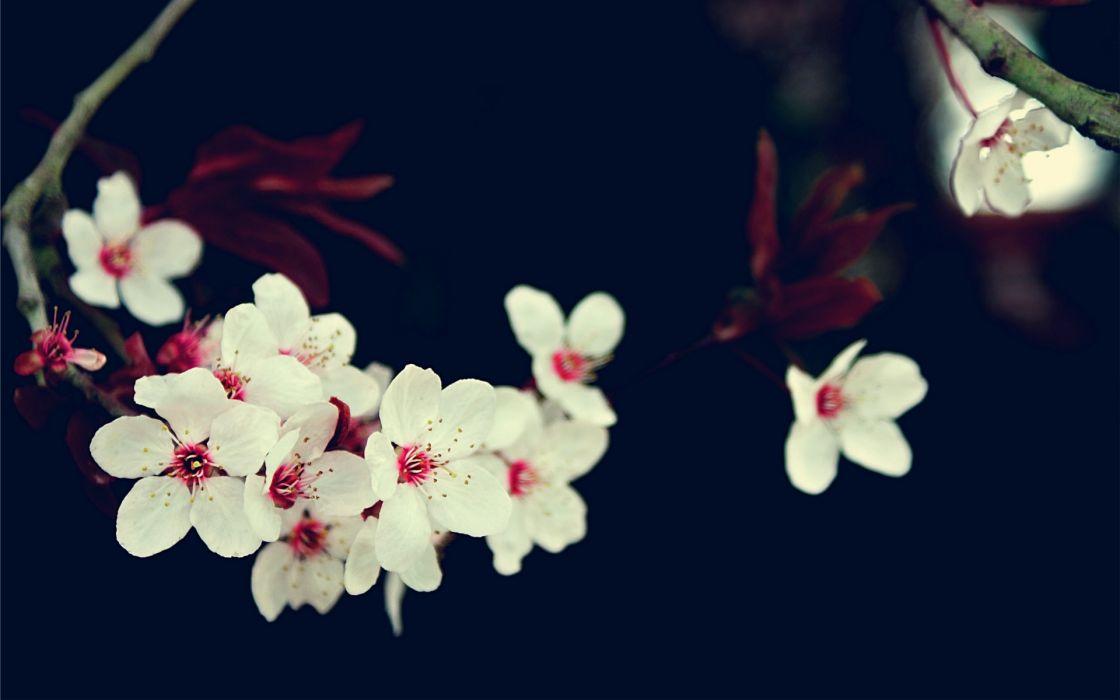 cherry blossoms flowers white flowers wallpaper