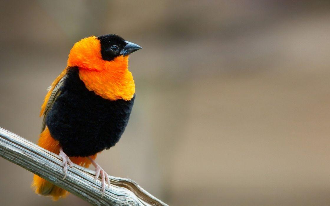 birds orange weaver birds wallpaper