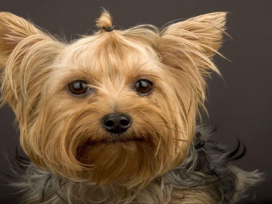 animals dogs brown big eyes wallpaper