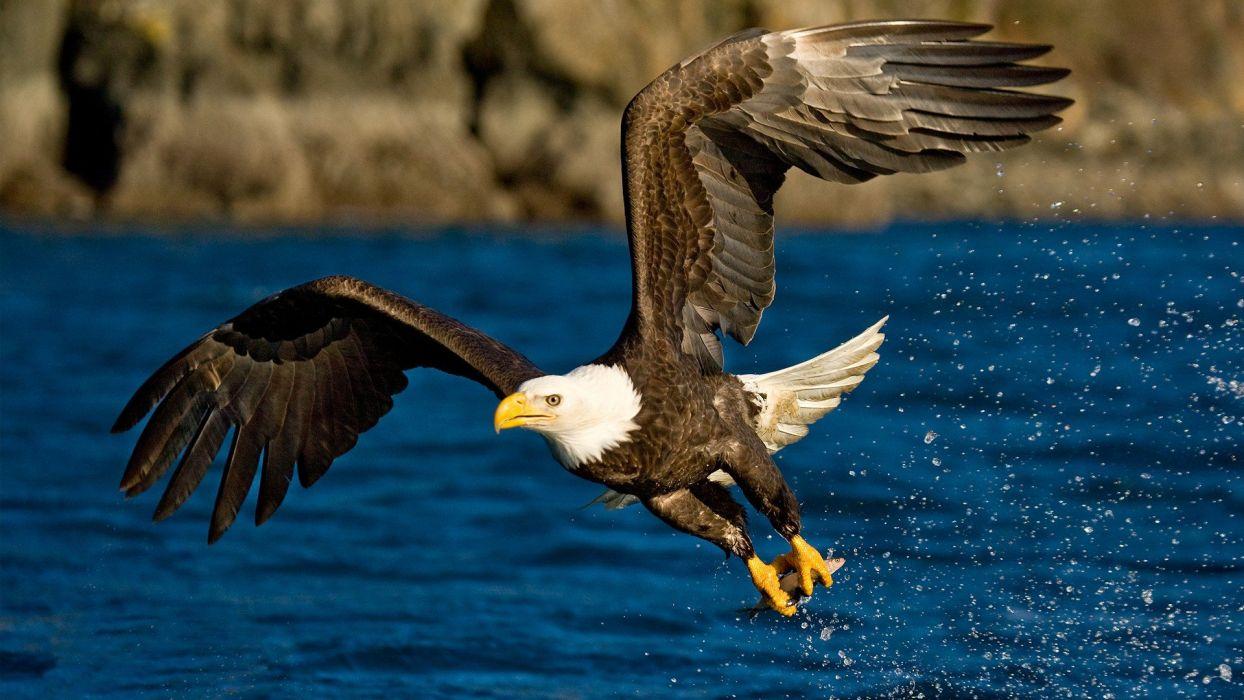 water birds eagles bald eagles wallpaper